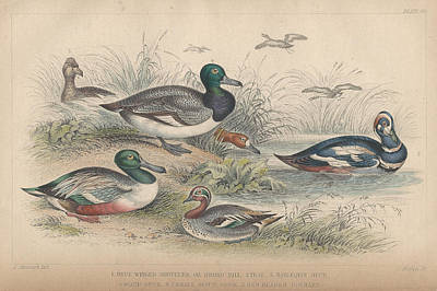 Duck Drawing - Ducks by Oliver Goldsmith