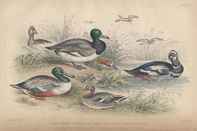 Ducks Print by Oliver Goldsmith