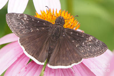 Photograph - Duskywing Butterfly On Coneflower by Robert Alter Reflections of Infinity