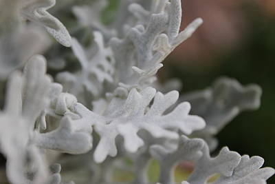 Flower Photograph - Dusty Miller by Katherine Parker