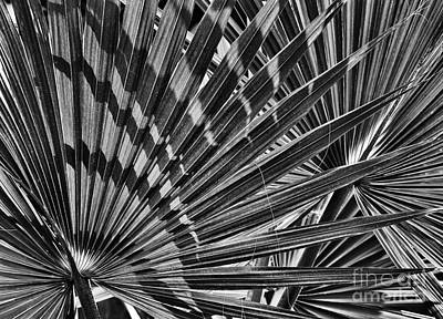Palmetto Plants Photograph - Dwarf Palmetto Fronds by Tim Gainey