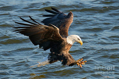 Eagle action photograph by davids digits