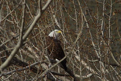 Eagle In Thick Trees Print by Jeff Swan
