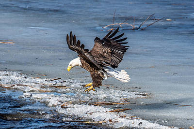 Bif Photograph - Eagle Landing by Paul Freidlund