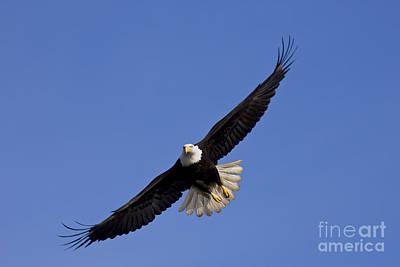 Eagle Soaring Print by John Hyde - Printscapes