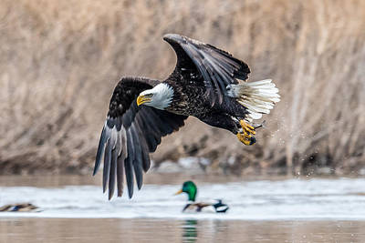 Bif Photograph - Eagle With Lunch by Paul Freidlund