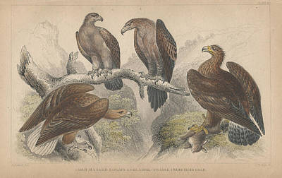 Eagle Drawing - Eagles by Oliver Goldsmith