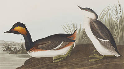 Edge Painting - Eared Grebe by John James Audubon