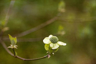 Dogwood Photograph - Early Dogwood by Rebecca Cozart