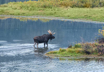 Moose In Water Photograph - Early Morning Crossing In Grand Teton by Sandra Bronstein