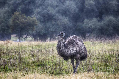 Emu Photograph - Early Morning Stroll by Douglas Barnard