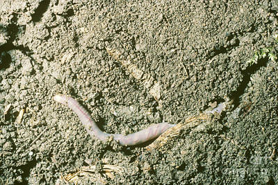 Earthworm Burrowing In Soil Print by John Kaprielian