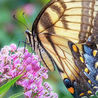 Blue Swallowtail Photograph - Easter Tiger Swallowtail Butterfly by Jim Hughes