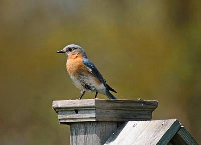 Wetlands Mixed Media - Eastern Blue Bird by Robert Pearson
