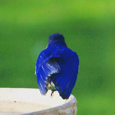 Animals Photograph - Eastern Bluebird. #birds #birding by Heidi Hermes