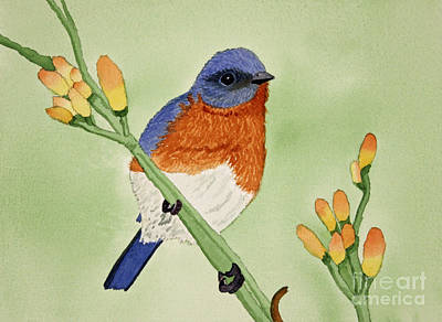 Eastern Bluebird Print by Norma Appleton