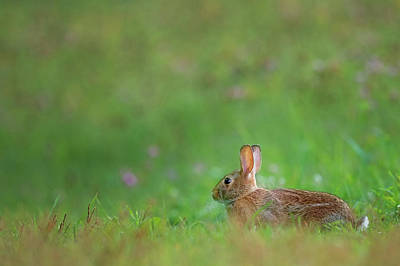 Greens Photograph - Eastern Cottontail 2016 by Bill Wakeley