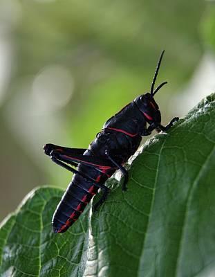 Grasshopper Photograph - Eastern Lubber Grasshopper by Richard Rizzo