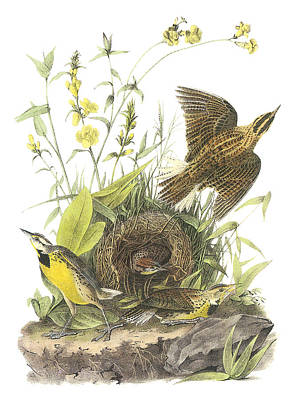 Lark Painting - Eastern Meadowlark by John James Audubon