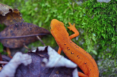 Newts Photograph - Eastern Newt by David Rucker