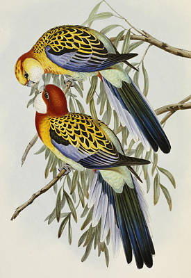 Parrot Drawing - Eastern Rosella by John Gould
