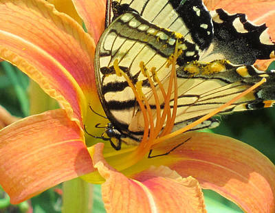 Sutton Photograph - Eastern Swallowtail Butterfly In Orange Day Lily by Lisa Shea