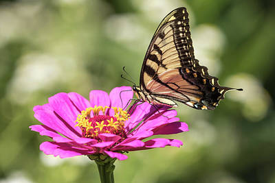 Photograph - Eastern Tiger Swallowtail 2016-1 by Thomas Young