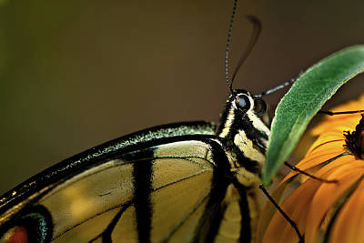 Eastern Tiger Swallowtail Butterfly Print by  Onyonet  Photo Studios