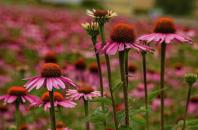 Echinacea Front And Center Print by Jean Noren