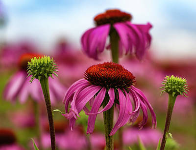 Echinacea Surround Print by Jean Noren