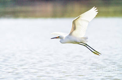 Egret Photograph - Egret Flies In Backlight  by Ruth Jolly