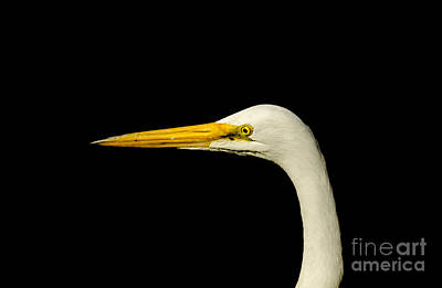 Birds Photograph - Egret On Black by Robert Frederick