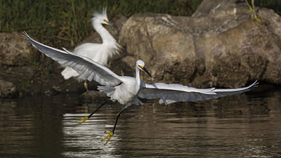 Nature Photograph - Egret On The Wing by Bruce Frye