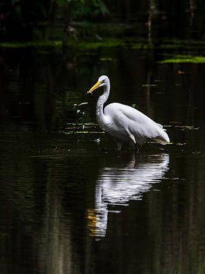 Egret Refelction Print by Alicia Collins
