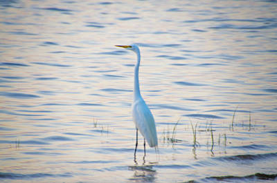 Egret Standing By The Water Print by Bill Cannon