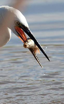 Egret With Fish Original by Bob Kemp