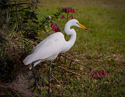 Heron Photograph - Egret's Meal by Zina Stromberg