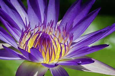 Blue Flowers Photograph - Egyptian Blue Lily by MaViLa