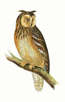 Owl Drawing - Egyptian Eared Owl by English School