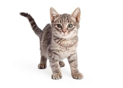 Gray Tabby Photograph - Eight Week Old Playful Tabby Kitten by Susan  Schmitz