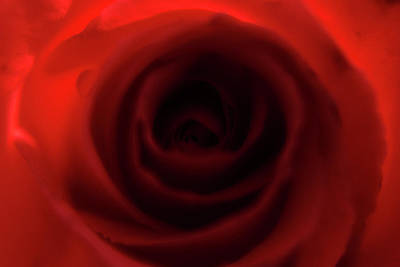 Elegant Rose Print by Bransen Devey