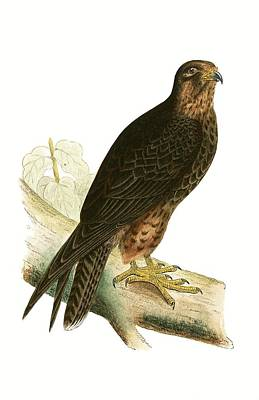 Falcon Drawing - Eleonora Falcon by English School