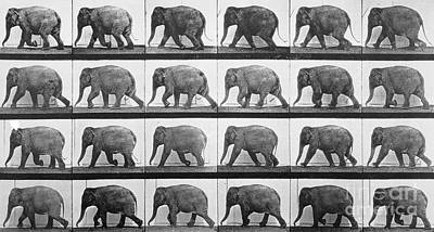 Elephants Photograph - Elephant Walking by Eadweard Muybridge