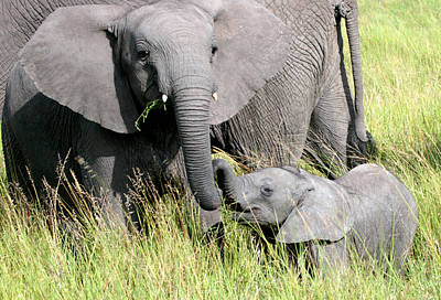 Elephants - Little Sister Print by Nancy D Hall