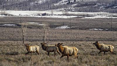 Roaming Elk Photograph - Elk At Gros Ventre No. 2 by Belinda Greb
