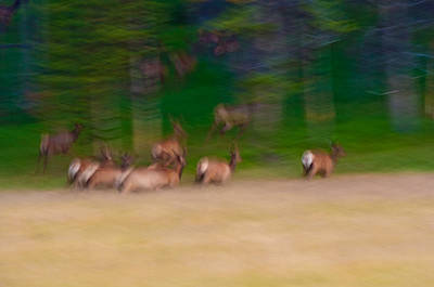 Nature Photograph - Elk On The Run by Sebastian Musial