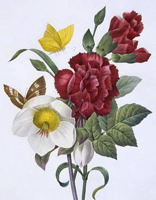 Flutter Drawing - Ellebore Et Oeillet by Pierre Joseph Redoute