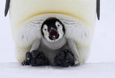 Fn Photograph - Emperor Penguin Aptenodytes Forsteri by Rob Reijnen