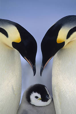 Emperor Penguin Family Print by Tui De Roy