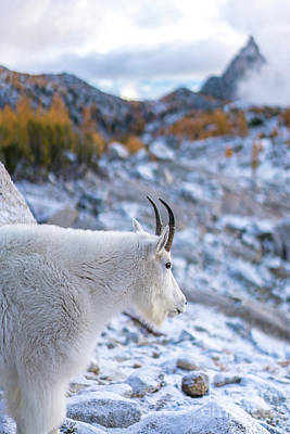 Goat Photograph - Enchantments Local Goat Resident by Mike Reid
